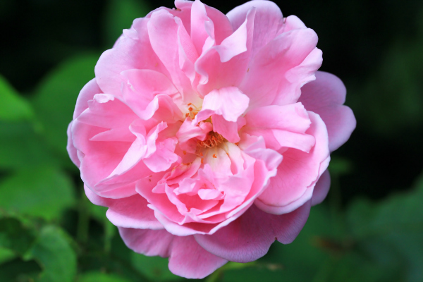 Fiorentina Flowers Garden Roses Collection