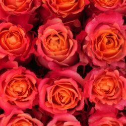 3 D Fiorentina Flowers